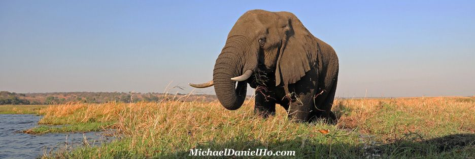 African elephant in the Chobe River, Botswana