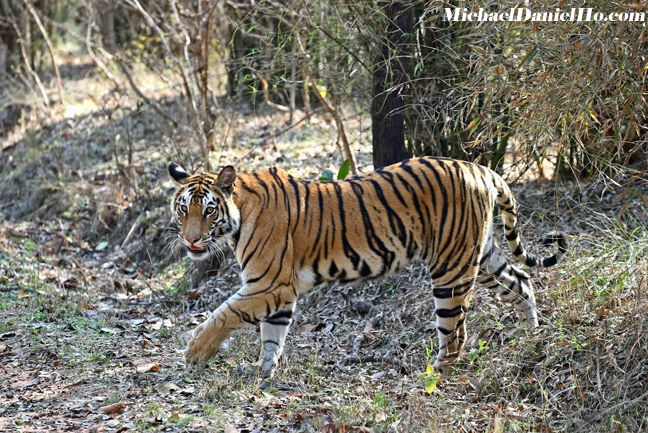 bengal tiger photos
