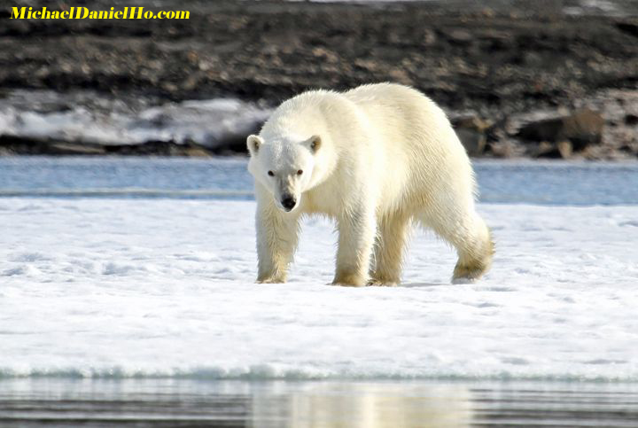 polar bear walking on fast ice