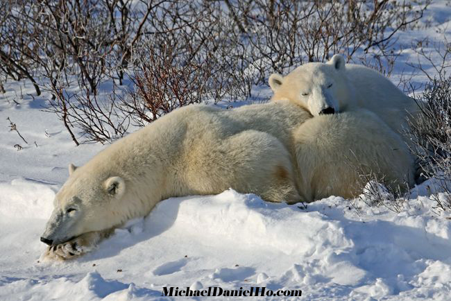 polar bear cub with mom photo