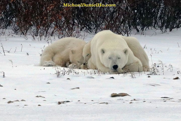 polar bear cubs with mom sleeping on snow