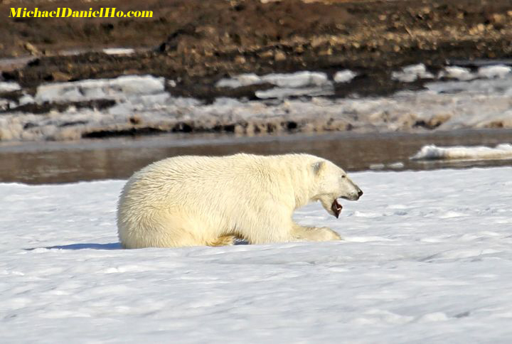 polar bear displaying sign of stress