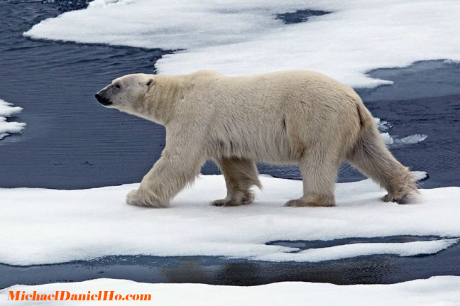 polar bear on ice floes