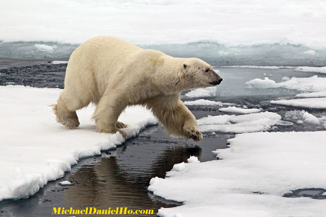 polar bear walking on ice floes