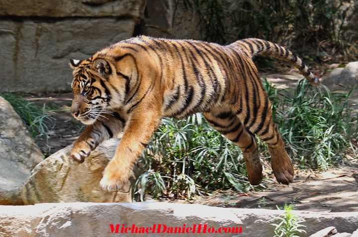 wild tiger photos