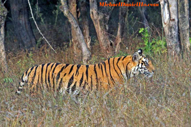 photo of wild tigers